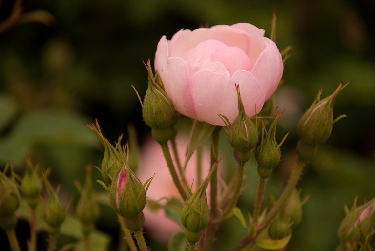 rose at saville garden