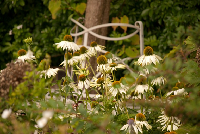 Echinacea | Lisa Cox Garden Designs Blog
