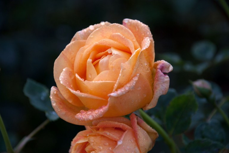 10 roses still going strong at rhs garden wisley lisa. Black Bedroom Furniture Sets. Home Design Ideas