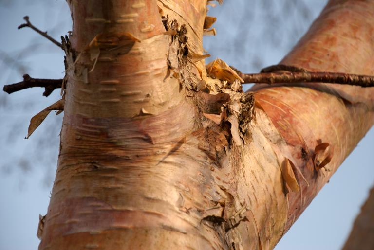 Betula bark