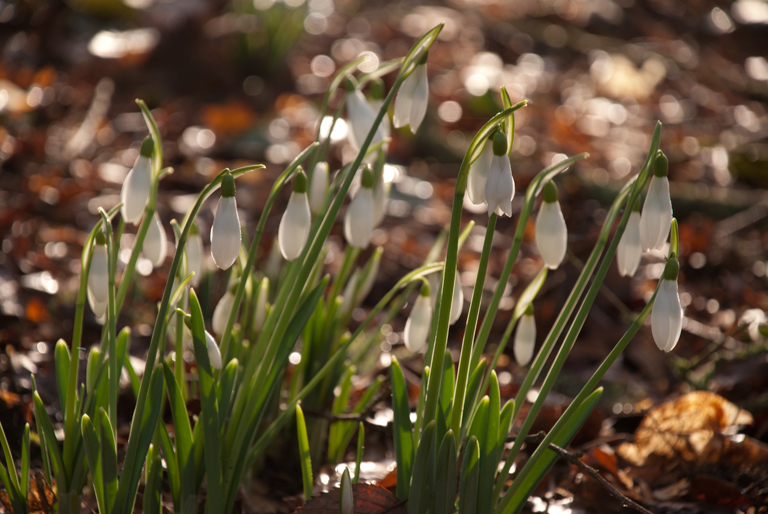 Snowdrops in the morning sun