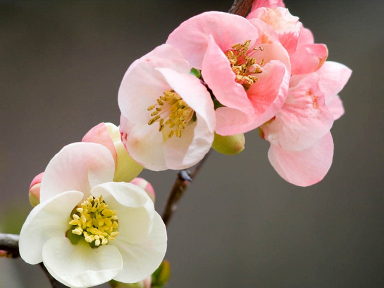 Garden flowers the japanese quince thorny but beautiful for Japanese garden flowering plants