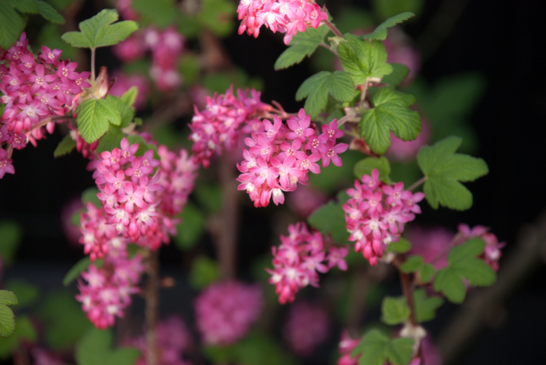 Landscaping Shrubs With Pink Flowers : Garden flowers ribes sanguinium the flowering currant lisa cox