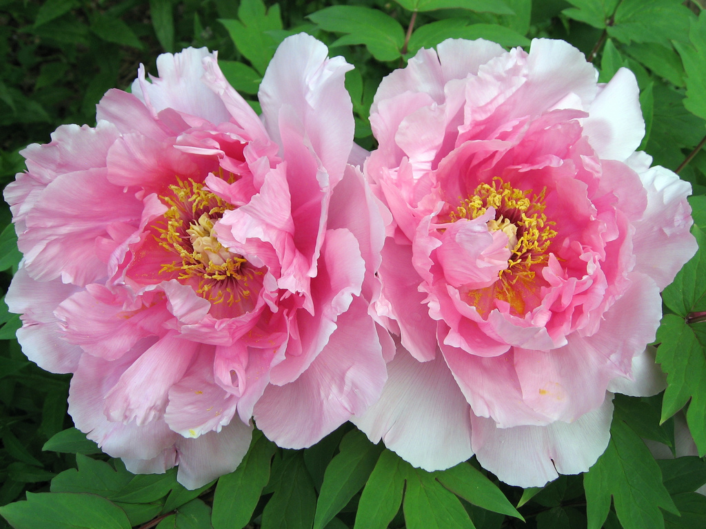 Picket Fences Garden Flowers The Flamboyant And Sumptuous Peony Lisa