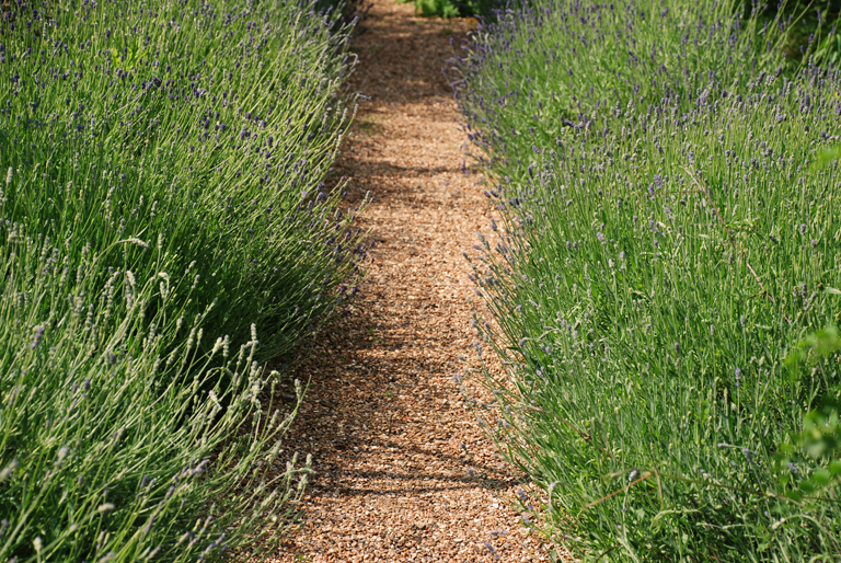 Lavender hedges at the Chelsea Physic Garden