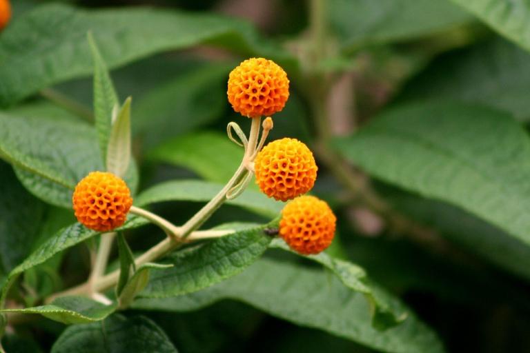 Orange Ball Flowers Orange Ball-like Flowers