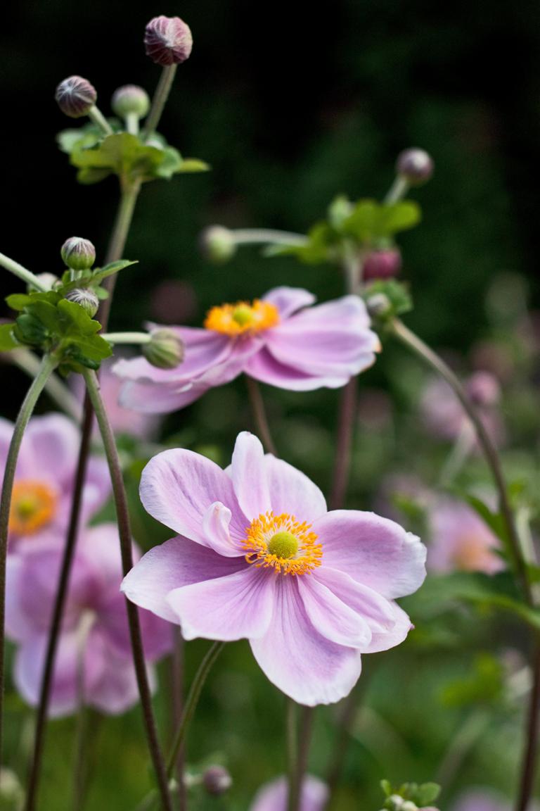 Garden flowers : Dainty Japanese Anemones... | Lisa Cox ...
