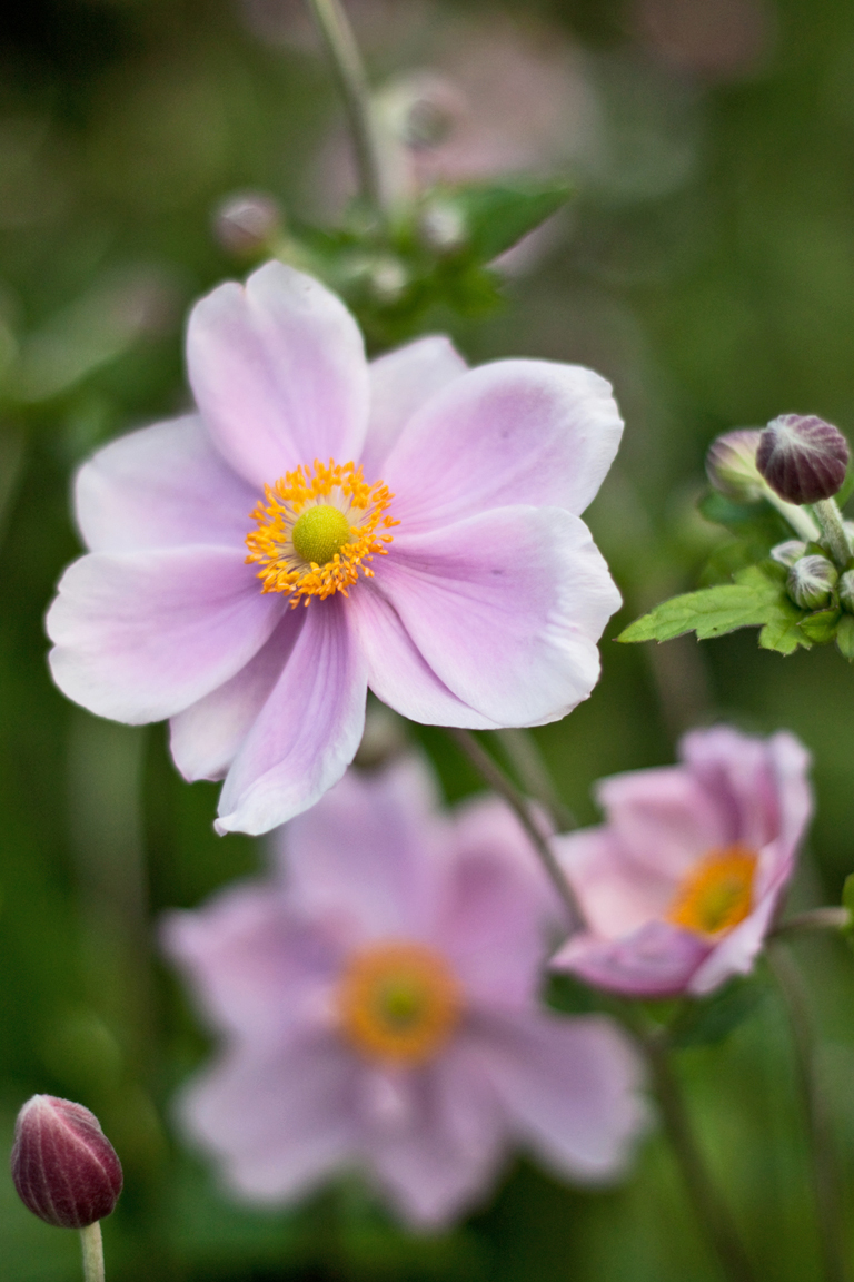 Garden flowers dainty japanese anemones lisa cox for Flowers for japanese garden
