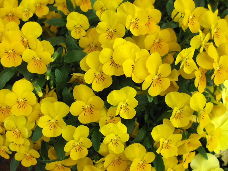 Garden flowers violas such dainty winter blooms lisa cox garden designs blog - Trees that bloom yellow flowers ...