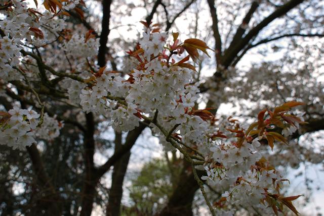 Amelanchier lamarckii blossom