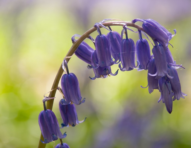 Bluebell by Lisa Cox for The Room Outside
