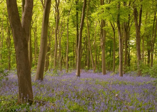 Bluebells in Kent Beech Wood - Lisa Cox Garden Designs