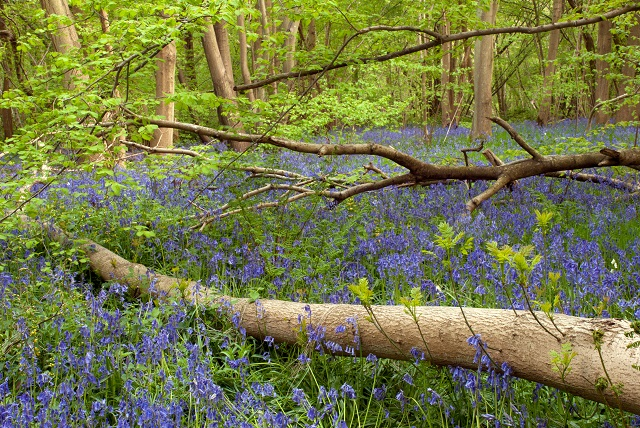 Bluebells in Kent by Lisa Cox