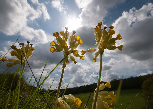 Cowslips taken with wide angle lense Lisa Cox Garden Designs