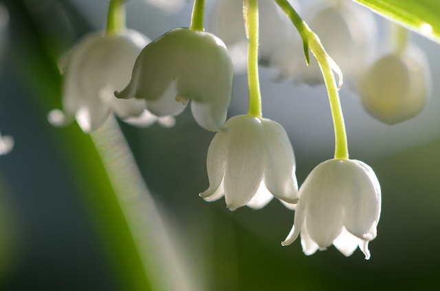 Lily of the Valley Flickr image by kalexanderson