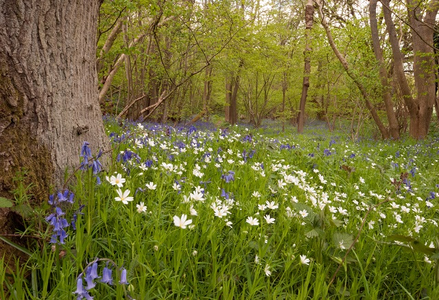 Wild bluebells and wood anemones in Kent by Lisa Cox