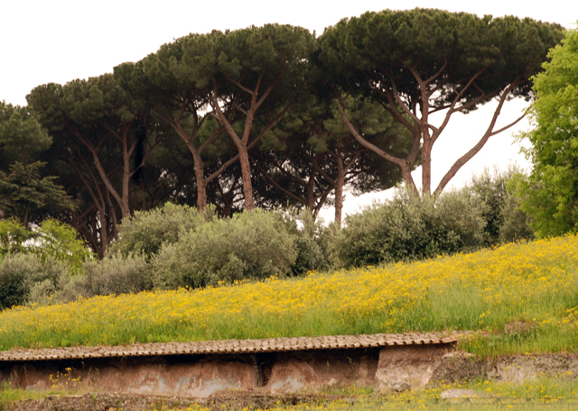Pine trees outside Colosseum in Rome by Lisa Cox