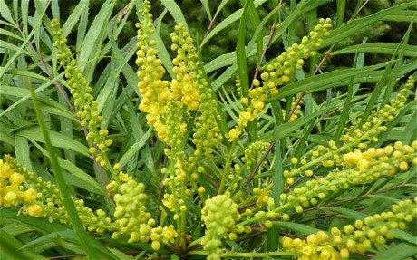 RHS-Chelsea-Flower-Show-Plant-of-the-Year-2013-Mahonia-eurybracteata-subso-ganpinensis-Soft-Caress-The-Telegraph