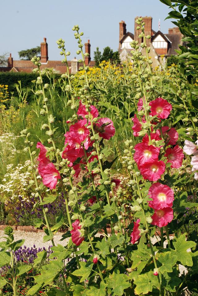 Hollyhocks at Loseley Park Lisa Cox Garden Designs