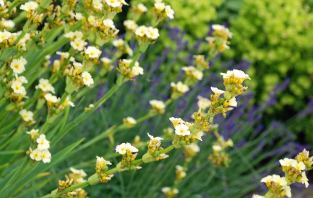 Sisyrinchium striatum & Lavander - Leatherhead front garden by Lisa Cox