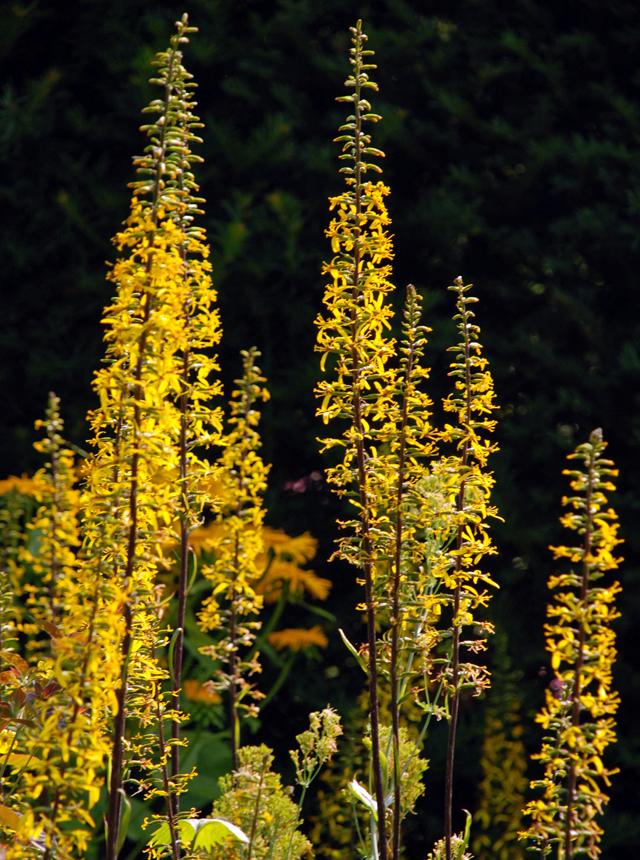 Ligularia at Loseley Park Lisa Cox Garden Designs