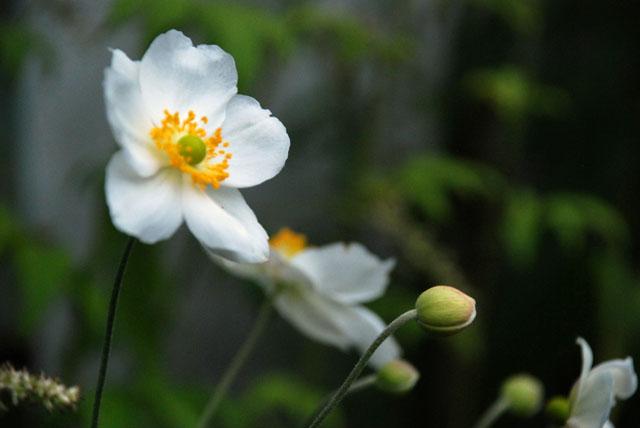 Anemone x hybrida Honorine Jobert Lisa Cox Garden Designs