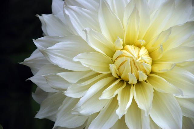 Dahlia Fleur Lisa Cox Garden Designs