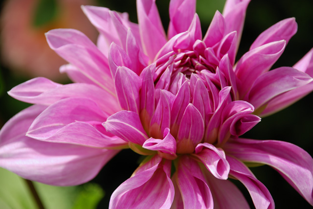 Dahlia Lilac Time Lisa Cox Garden Designs