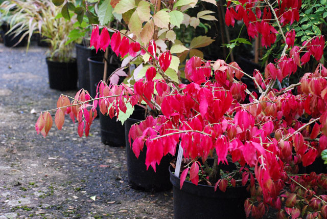 Euonymus alatus Lisa Cox Garden designs