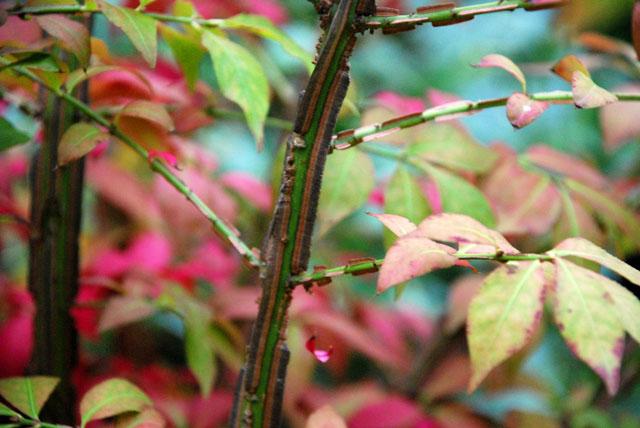 Euonymus alatus bark Lisa Cox Garden Designs