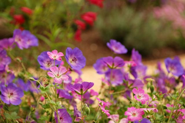 Geraniums in Leatherhead garden Lisa Cox Designs
