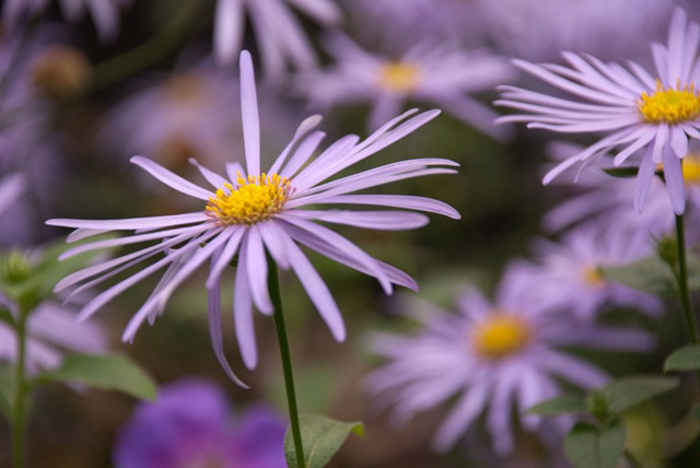 Aster frikartii Monch in October Lisa Cox Garden Designs