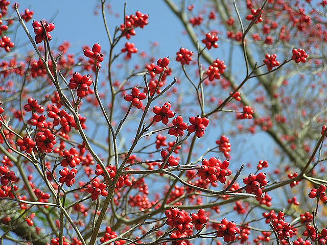Cornus florida berries Flickr image by lindley ashline