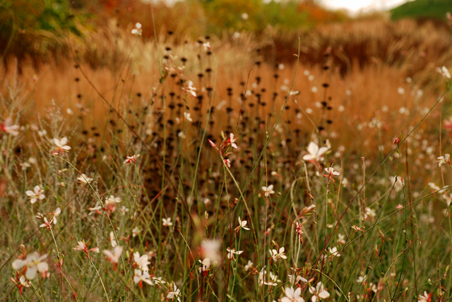 Gaura and grasses RHS Garden Wisley Lisa Cox Designs