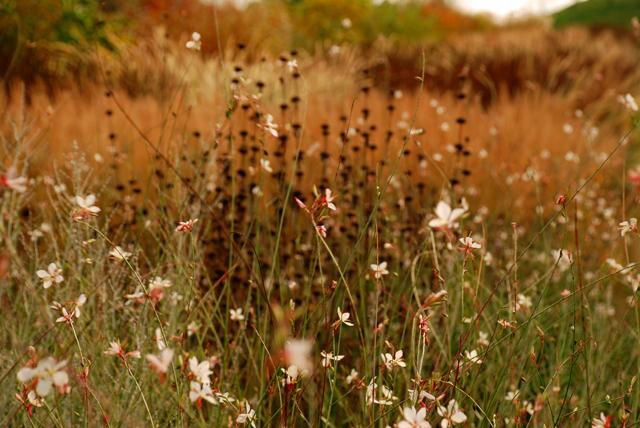 Gaura and grasses RHS Garden Wisley Lisa Cox Designs