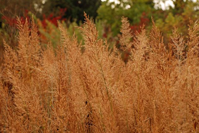 Golden grasses at RHS Garden Wisley Lisa Cox Designs
