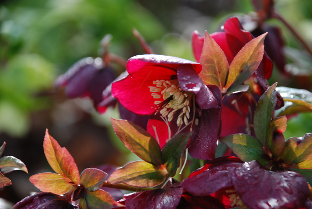 Deep red Hellebores Lisa Cox Garden Designs