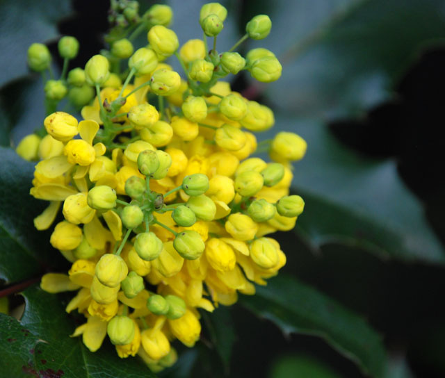 Mahonia aquifolium 'Apollo' Lisa Cox Garden Designs