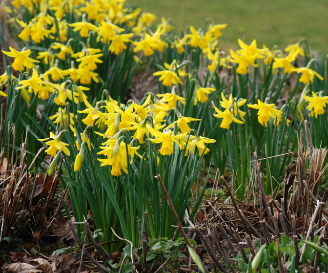 Narcissus at RHS Wisley by Lisa Cox