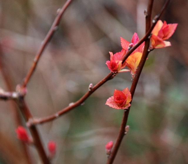 Spiraea japonica 'Firelight' Lisa Cox Garden Designs