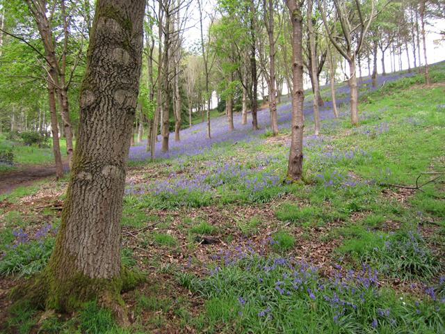 Bluebell wood in Surrey Hills Lisa Cox Garden Designs