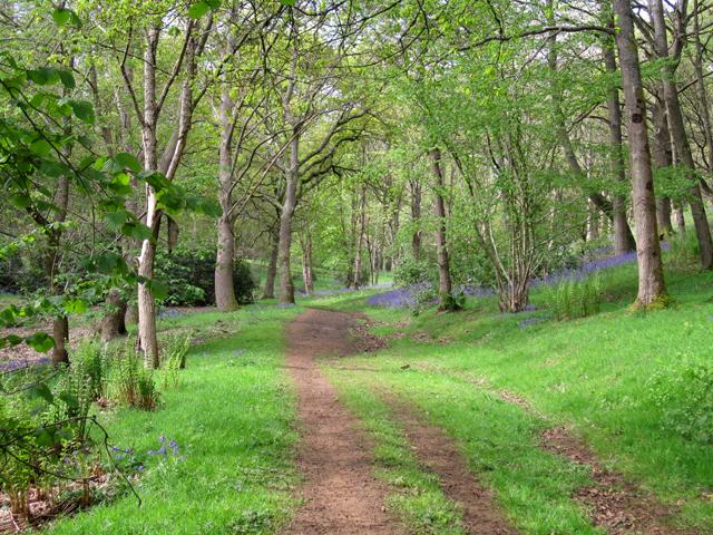 Bluebell wood near Godalming Surrey Lisa Cox Garden Designs