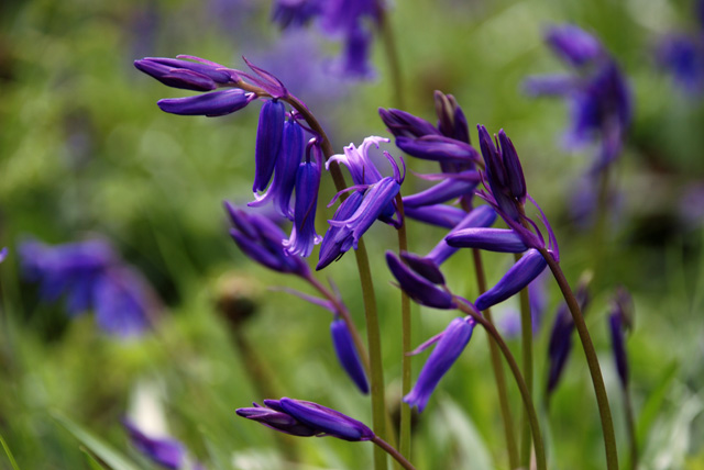 English Bluebells in Surrey Lisa Cox Garden Designs
