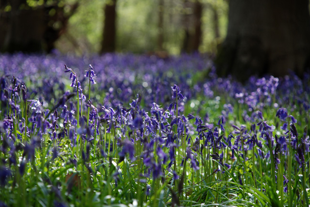 English bluebell wood Lisa Cox Garden Designs