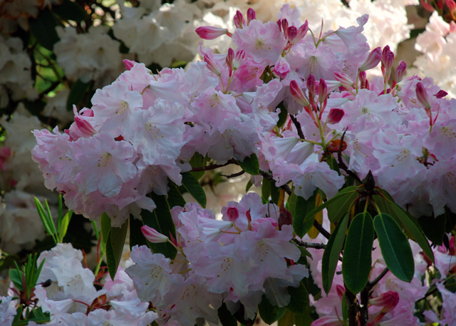 Pale pink rhododendron at RHS Wisley Lisa Cox Garden Designs