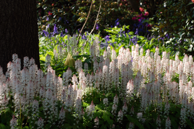 Tiarella flowers at RHS Wisley Lisa Cox Garden Designs
