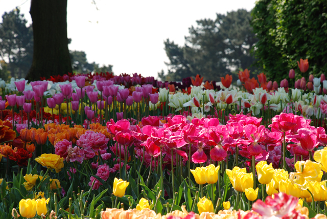 Tulips en masse at RHS Wisley Lisa Cox Garden Designs