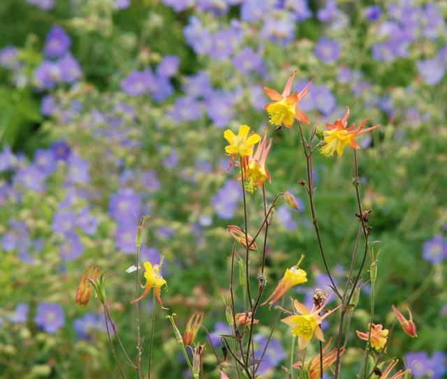 Aquilegia in flower garden at Loseley Park Lisa Cox Designs