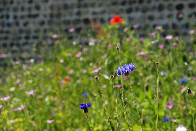 Cornflowers in Saint Valery Sur Somme Lisa Cox Designs