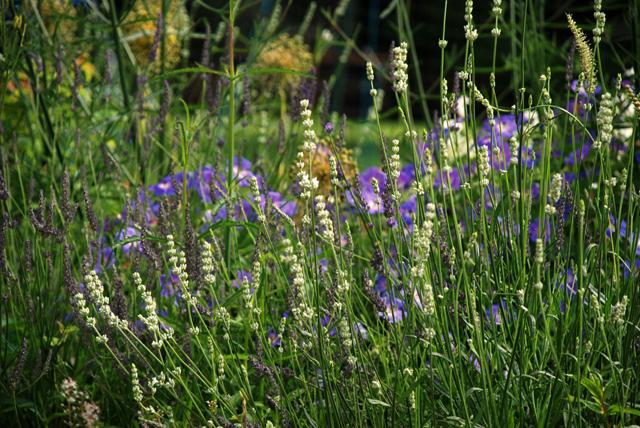Lavender & geraniums Lisa Cox Garden Designs